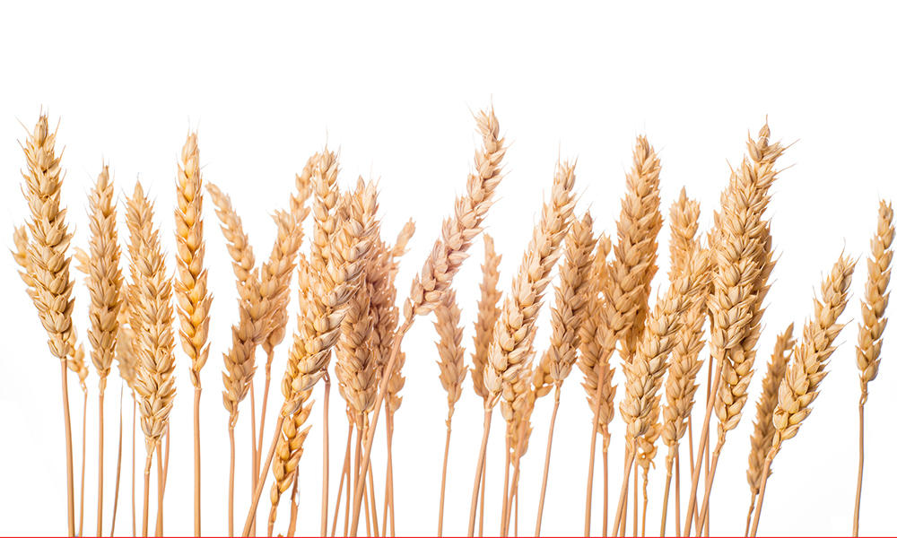 Ripe wheat ears isolated on a white background